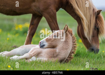 Mare and Foal, Iceland Icelandic pure-bred horses, Iceland - Stock Photo