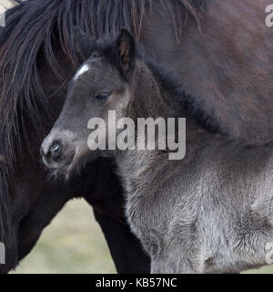 Newborn foal with horse, Iceland Icelandic pure-bred horses, Iceland - Stock Photo