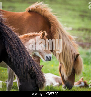 Mare and new born foal, Iceland Icelandic pure-bred horses, Iceland - Stock Photo