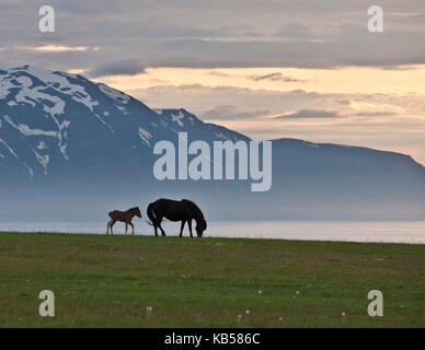 Iceland Mare and Foal, Midnight Sun, Iceland - Stock Photo