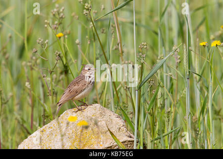 Crested Lark (Galerida cristata) singing on a rock in a grain field, Spain, Extremadura, Calera y Chozas - Stock Photo