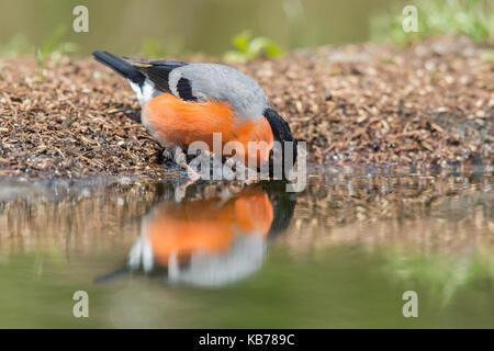 Eurasian Bullfinch (Pyrrhula pyrrhula) male drinking from a small pond, The Netherlands, Overijssel - Stock Photo