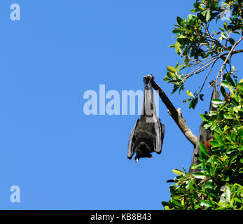 A Black Flying Fox (Pteropus alecto) roosting in Lissner Park in Charters Towers, Queensland, QLD, Australia - Stock Photo