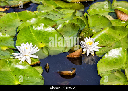 Closeup of two blooming white bright lily flowers with pads in pond - Stock Photo