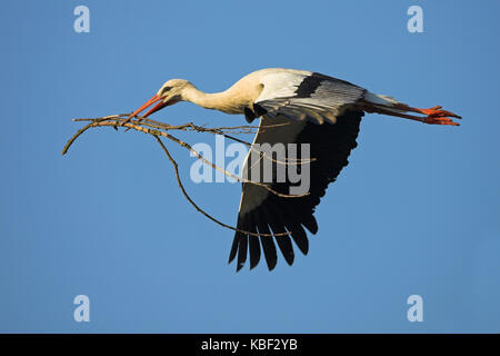 White stork, Ciconia ciconia, , Weissstorch - Stock Photo