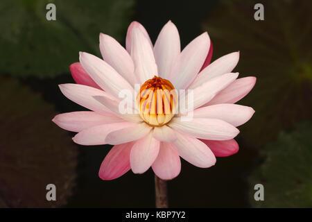 Beautiful lotus (Nymphaea lotus / water lilies) in full bloom - Stock Photo