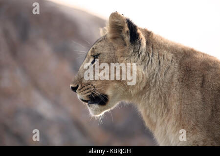 young lion close up on rocks - Stock Photo