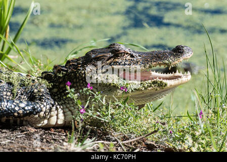 Alligator in Wildflowers - Stock Photo