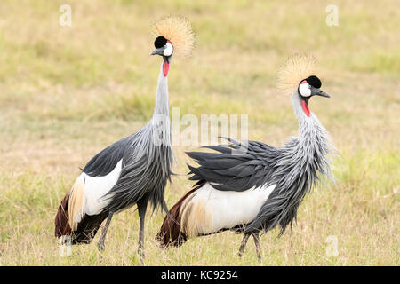 A pair of Grey Crowned Crane was foraging at Amboseli National Park, Kenya. Grey Crowned Crane is the national bird - Stock Photo