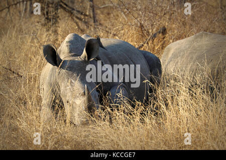 White rhino / rhinoceros, showing off his huge horn. South Africa - Stock Photo