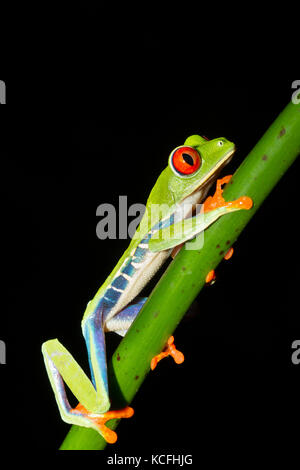 red-eyed tree frog, Agalychnis callidryas, perched in a tree branch in a jungle in Costa Rica, Central America - Stock Photo
