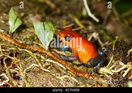 Strawberry poison dart frog, Oophaga pumilio Costa Rica, Central America, - Stock Photo