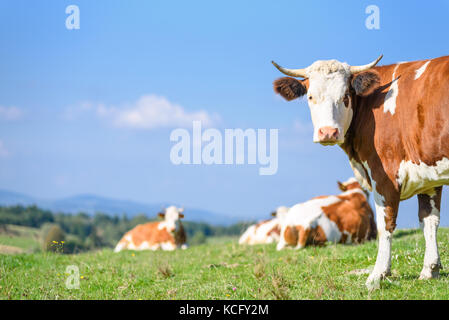 Lucky and free cows grazing on a green meadow on a sunny day on a background of idyllic mountain landscape. - Stock Photo