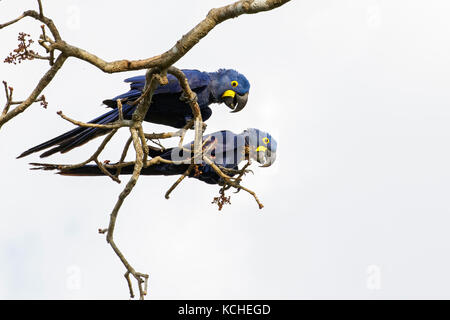 Hyacinth Macaw (Anodorhynchus hyacinthinus) perched on a branch in the Pantanal region of Brazil. - Stock Photo