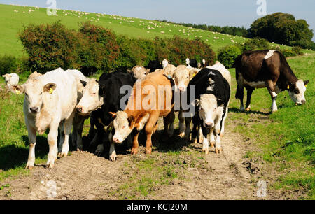 Inquisitive cattle on a rural footpath. - Stock Photo