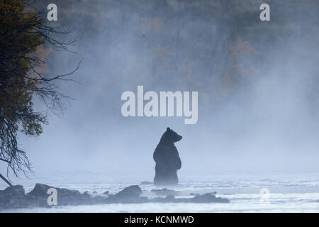 Grizzly bear (Ursus arctos horribilis), female standing in morning mist, Chilcotin Region, British Columbia, Canada. - Stock Photo