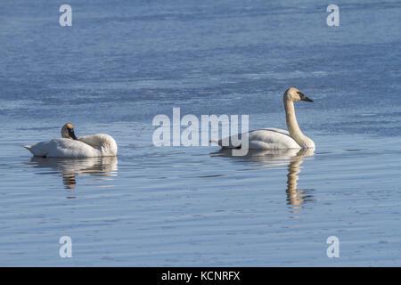 Trumpeter Swan (Cygnus buccinator) Beautiful pair of white Trumpeter Swans, preening in a blue lake. Rural, Alberta, - Stock Photo