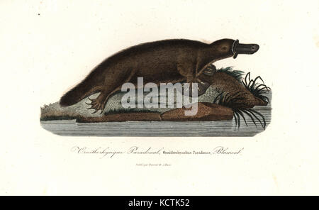 Platypus, Ornithorhynchus anatinus. Handcoloured copperplate engraving from Rene Primevere Lesson's Complements - Stock Photo