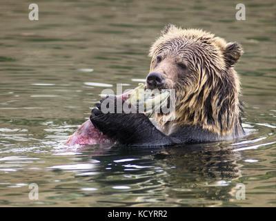 Grizzly Bear (Ursus arctos horribilis), Sub-Adult, in water of salmon stream  feeding on Sockeye Salmon (oncorhynchus - Stock Photo
