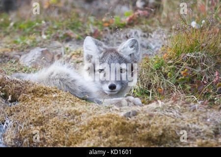 Arctic fox (Vulpes lagopus) - Stock Photo