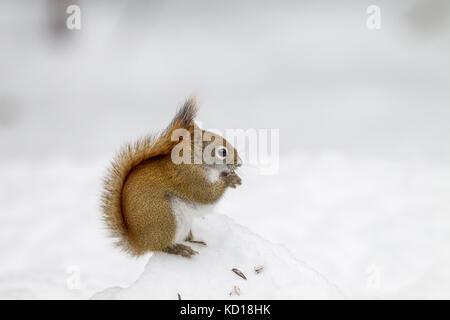 Red Squirrel (Tamiasciurus hudsonicus), Algonquin Provincial Park, Ontario, Canada - Stock Photo