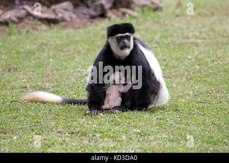 Adult female Black and White Colobus monkey Colobus guereza with young baby sitting on lawn Elsamere Naivasha Kenya - Stock Photo