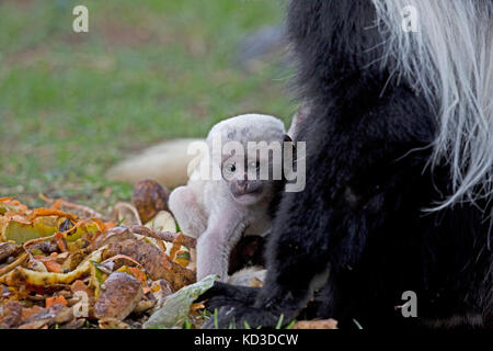 Baby pure white Black and White Colobus monkey Colobus guereza clinging to mother Elsamere Naivasha Kenya - Stock Photo