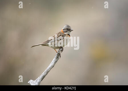 A Rufous-collared Sparrow (Zonotrichia capensis australis) in Torres del Paine, Chile - Stock Photo
