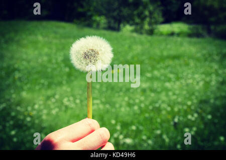 Woman holds a dandelion and blows on it. Woman hand holding a dandelion against the green maedow. Vignette, hight - Stock Photo