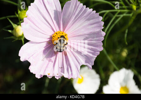 Close up of a bumble bee gathering pollen in a pink flower. A spider is also on a petal near the center of the flower. - Stock Photo