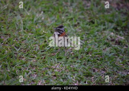Rufous Collared Sparrow, Zonotrichia capensis, Arenal, Costa Rica, Central America - Stock Photo