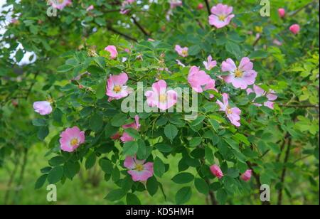 Dog Rose blossoms Rosa canina - Stock Photo