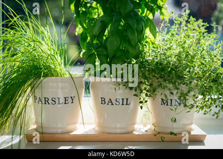Parsley basil and mint herbs growing in plant pots on a kitchen windowsill in sunshine - Stock Photo