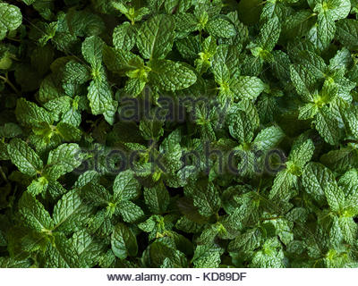 Full bleed shot of mint plants from above - Stock Photo