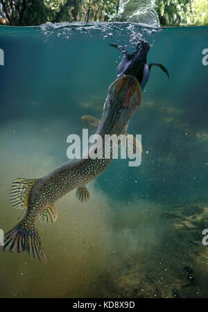 Northern pike, Esox lucius. Catching a duck near the surface. Pikes can reach 150 cm in length and a weight of around - Stock Photo