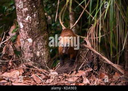'Quati-de-cauda-anelada (Nasua nasua) fotografado em Linhares, Espírito Santo -  Sudeste do Brasil. Bioma Mata Atlântica. - Stock Photo