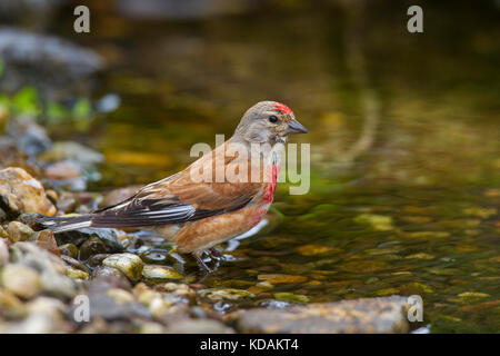 Common linnet (Linaria cannabina / Acanthis cannabina / Carduelis cannabina) male drinking water from brook - Stock Photo