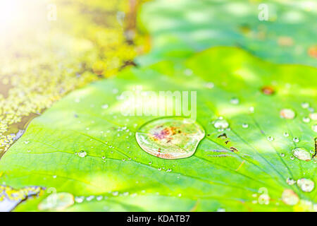 Macro closeup of large water drops on lily lotus pads, leaves in pond marsh during sunny summer with soft golden - Stock Photo