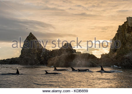 A pod of transient killer whales, Orcinus orca, surround the second largest haulout of Steller Sea Lions in the - Stock Photo