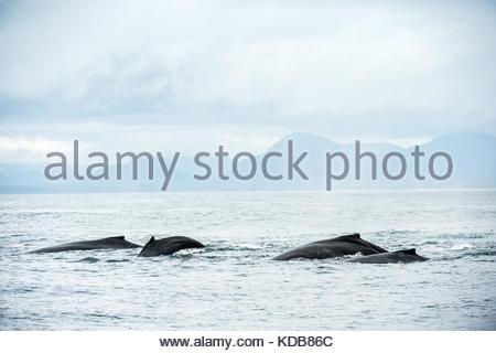 A pod of humpback whales, Megaptera novaeangliae. - Stock Photo