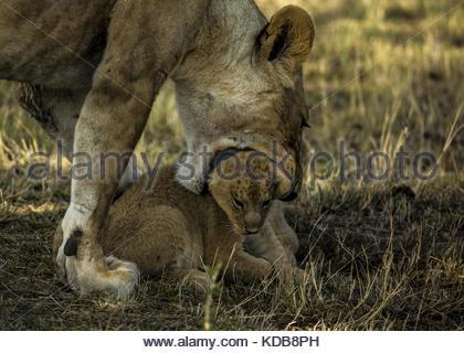 A lioness, Panthera leo, picks up her cub. - Stock Photo