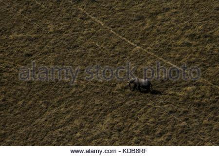 A lone elephant, Loxodonta africana, walks along the dry plains. - Stock Photo