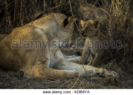 A lioness, Panthera leo, and her cub. - Stock Photo