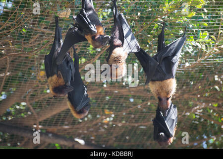 Several Lyle's flying foxes. Pteropus lylei. - Stock Photo