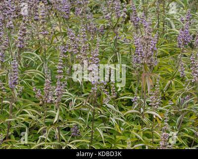 Vitex agnus-castus, also called vitex, chaste tree, chasteberry, Abraham's balm, lilac chastetree, or monk's pepper - Stock Photo
