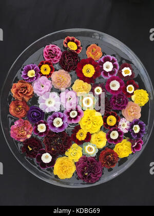A Bowl of Primula Auriculas showing their full range of colours - Stock Photo