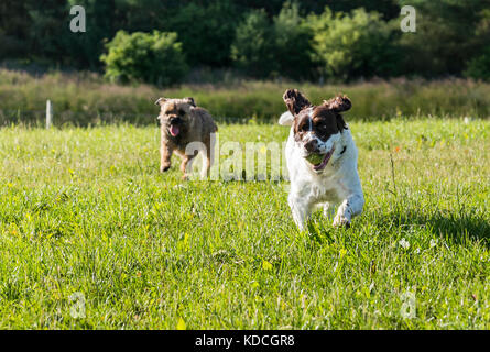 A Springer Spaniel and a Border Terrier chasing each other in a field, Springer Spaniel with a tennis ball in its - Stock Photo