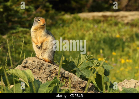 A Columbian Ground Squirrel pausing atop a rock in Glacier National Park. - Stock Photo