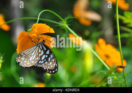 Beautiful butterflies feeding on pretty orange flowers in a national park in the central mountainous highland region - Stock Photo