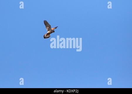 Common kestrel Falco tinnunculus hunting Winnall Moors Hampshire and Isle of Wight Wildlife Trust Reserve Winchester - Stock Photo